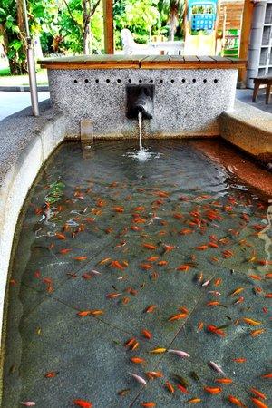 Jin Yong Quan Spa Hot Spring Resort:                   溫泉魚~~~