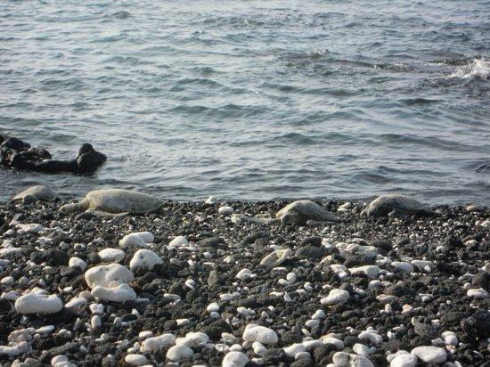 ذا فيرمونت أوركيد هاواي: Sea turtles sun bathing at the property's rock beach