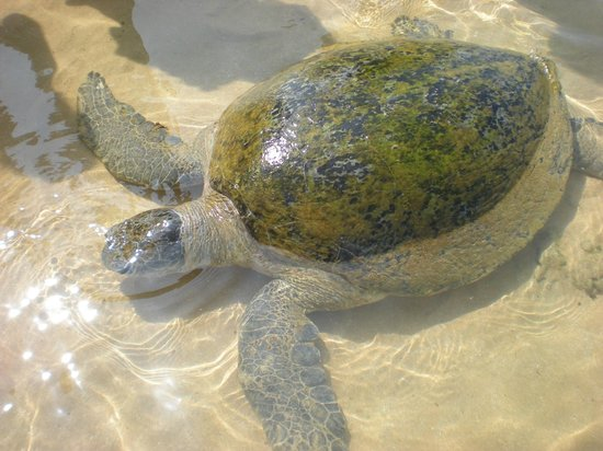 Hikka Tranz by Cinnamon: Sea Turtles in the shallow waters of the beach