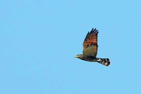 Shizen taiken gakusyu nature mirai kan: Grey-faced BUzzard Eagle