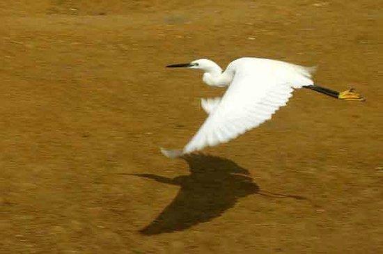 Shizen taiken gakusyu nature mirai kan: Egret in Flight