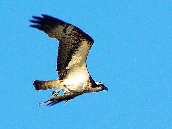 Shizen taiken gakusyu nature mirai kan: Sea Hawk with Fish