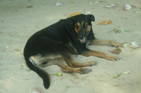 "Surfside Vanuatu:                   A sweet local dog, Taco who ""adopted"" us while we stayed"
