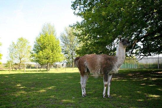 Newpark Hotel: Newpark Wildlife Farm - Lama