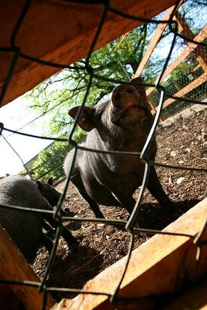 Newpark Hotel: Newpark Wildlife Farm - Pot bellied pig