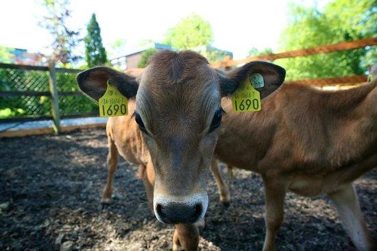 Newpark Hotel: Newpark Wildlife Farm - Calves