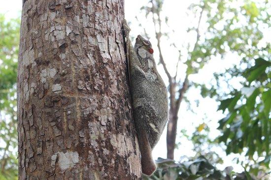 Berjaya Langkawi Resort - Malaysia: Flying Lemur in the day