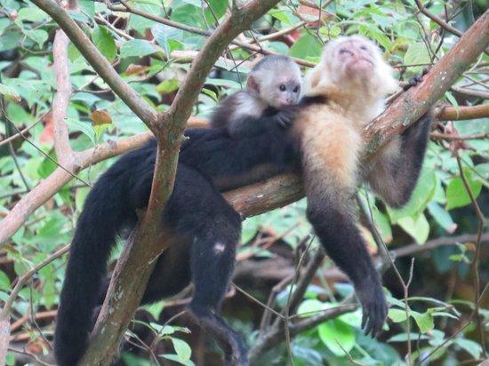Hotel Luz de Mono:                   Friendly Capuchins