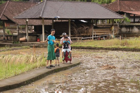 Agus Bali Private Tours:                   Crossing a mini rice padi field