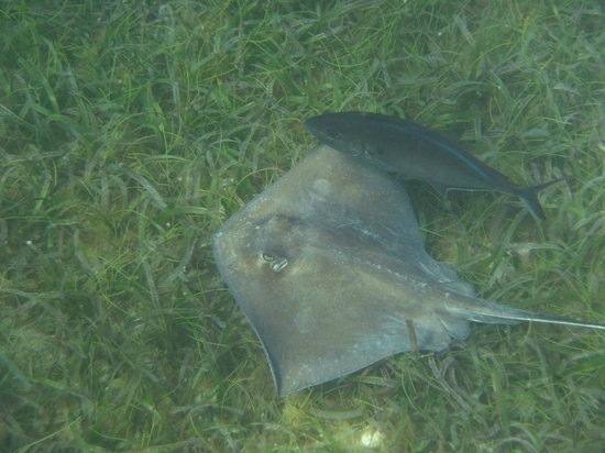 Hotel on the Cay:                   Sting Ray in the harbor