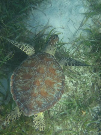 Hotel on the Cay:                   Sea Turtle in the harbor