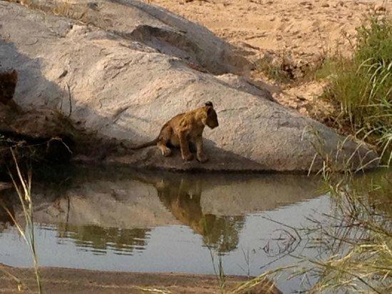 Ulusaba Private Game Lodge:                                                       Lion Cub out on safari