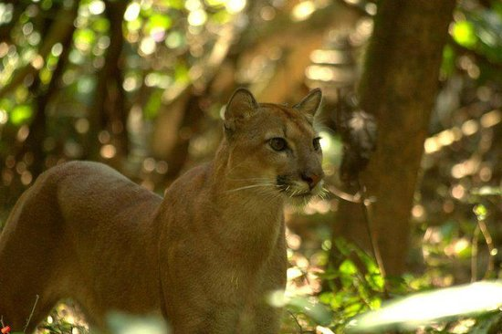 Corcovado Info Center: Puma in the forest close to Sirena Biological Station