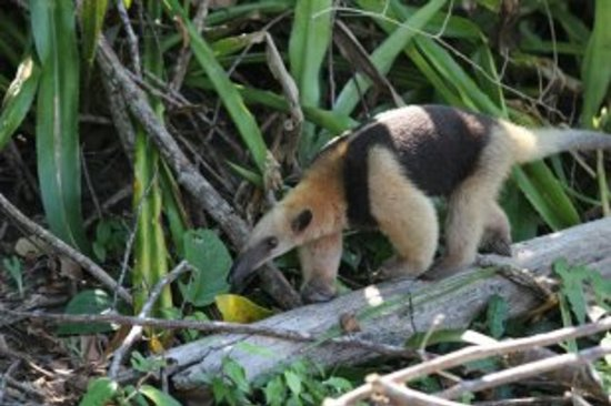 Corcovado Info Center: Tamandua (collared anteater) Corcovado National Park