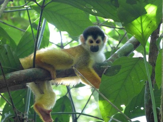 Corcovado Info Center: Squirrel Monkey Corcovado National Park
