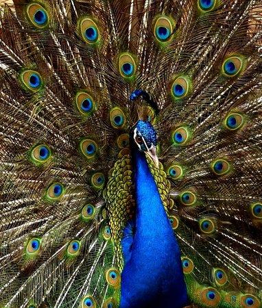 Emperor Valley Zoo:                   Pea-cock