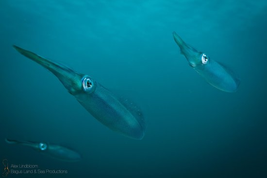 La Buga Dive Center & Surf School : squid