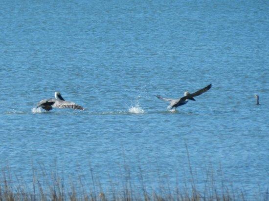 Pitt Street Bridge :                   Pelicans taking off nearby.