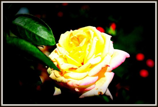 Botanical Garden:                   Yellow Rose
