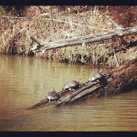 Pilot Knob Inn:                   turtle sighting on private lake