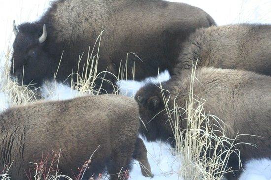 Lamar Valley: Lots of Bison