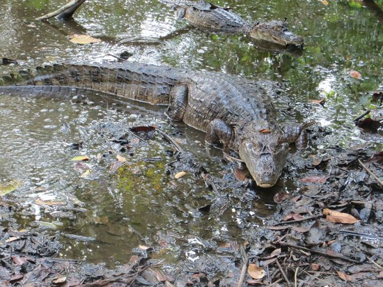 Aventuras Tropicales Golfo Dulce: caymans and crocodiles came to say hello