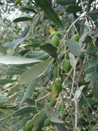 Fattoria Poggio Alloro: Olives.