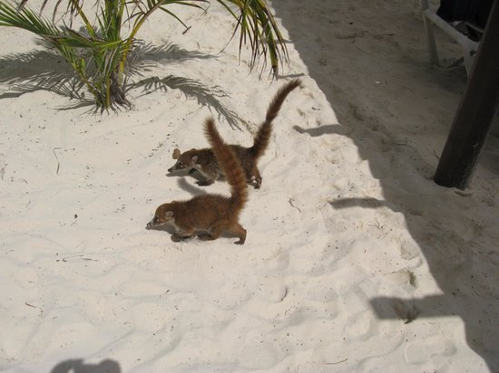 Catalonia Playa Maroma:                   The coatis