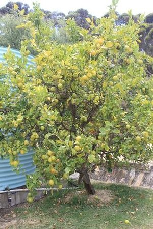 Casuarina Coastal Units:                                     organic lemon tree at the back