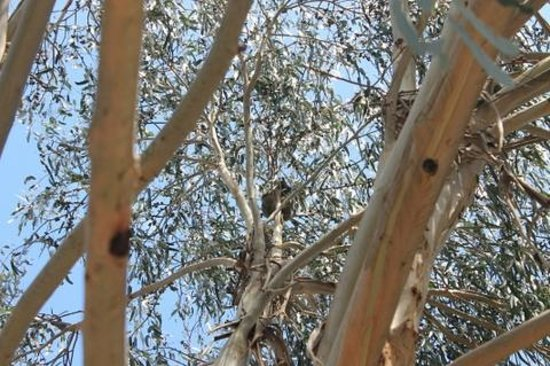 Casuarina Coastal Units:                                     Koala outside our unit
