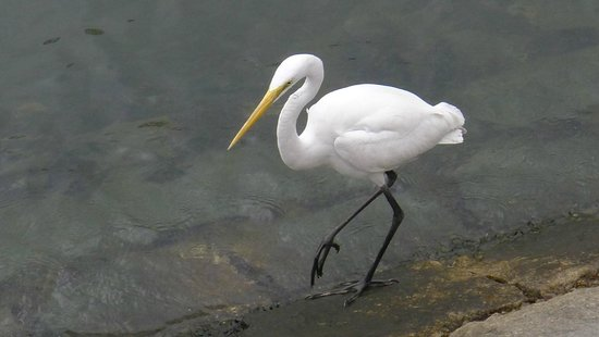Sha Tin Park: A white egret walking along the canal in such of its lunch