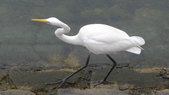 Sha Tin Park: Cute egret that walked past us along the promenade