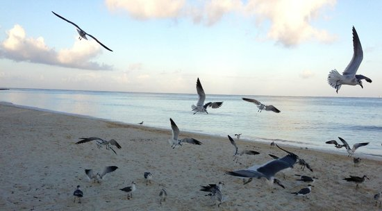 Melia Cozumel Golf - All Inclusive :                                     Early Morning Beach Birds