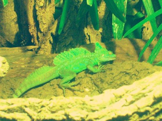 Nashville Zoo:                   Chameleon.