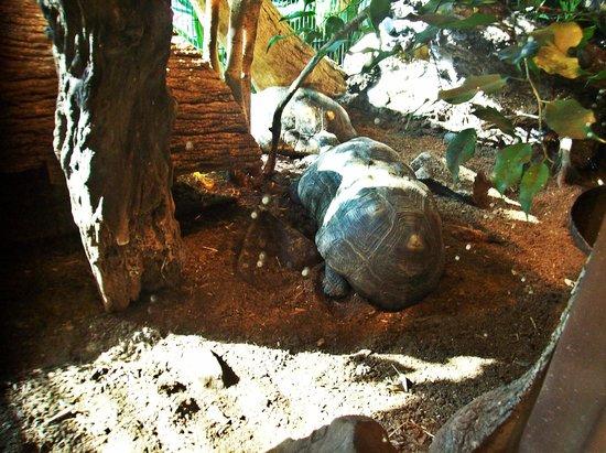 Nashville Zoo:                   Tortoises.