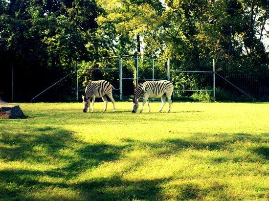 Nashville Zoo:                   Zebras!