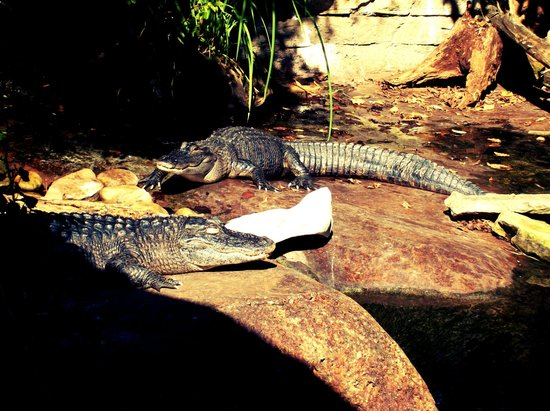 Nashville Zoo:                   Alligators!