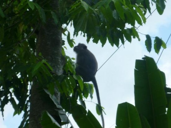 Saren Indah Hotel:                   Monkeys on hotel grounds