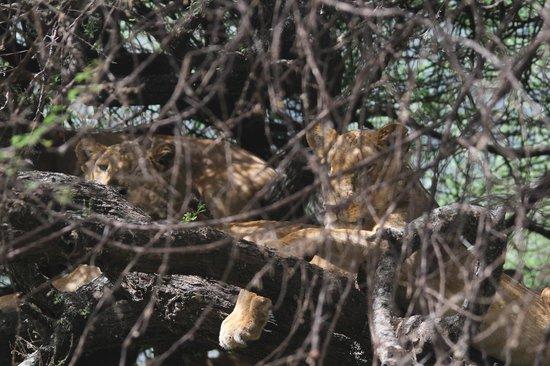 Full-Day Lake Manyara National Park Tour:                   Lake Manyara's Famous Tree-Climbing Lions