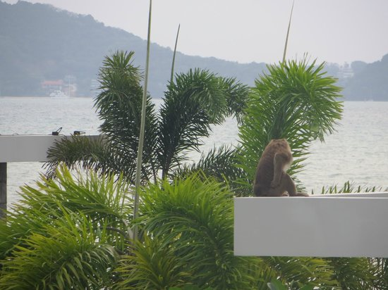 Serenity Resort & Residences Phuket :                   A monkey that visits the hotel :)