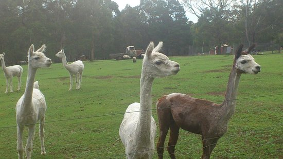 Morvern Valley Guesthouses :                   Alpacas - just some of the animals