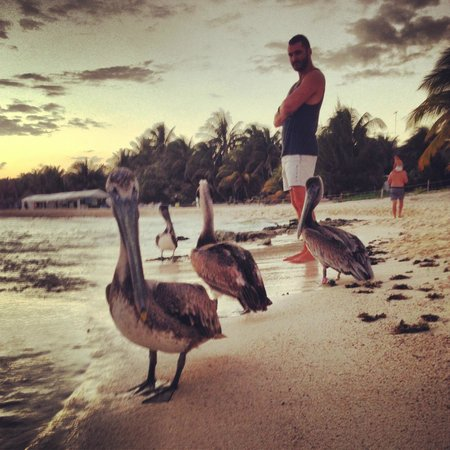 Le Reve Hotel & Spa:                                     Pelicans roaming just near the resort