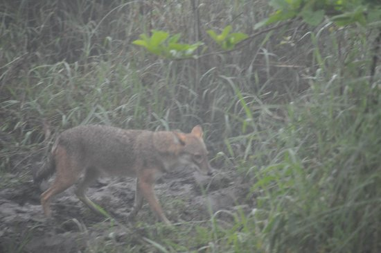 Chitwan Jungle Lodge:                   Jackal in the forest