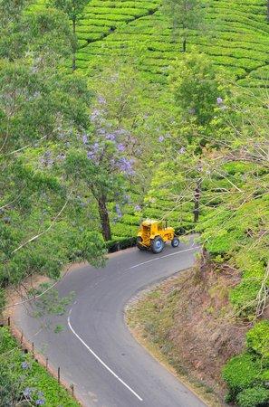 Royal Mist:                   Teeplantagen bei Munnar