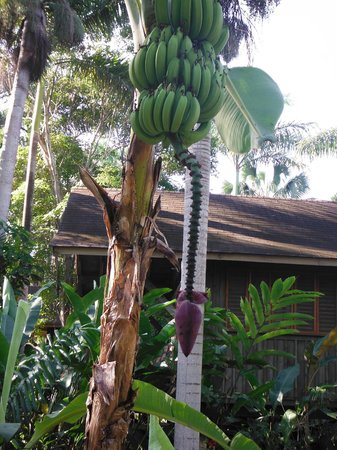 Sunset at the Palms: banana tree on path to cabins