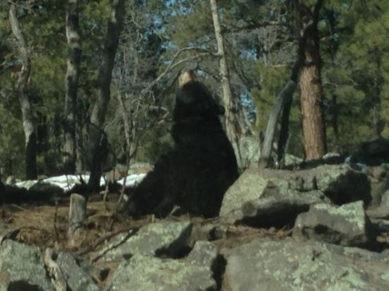 Bearizona Wildlife Park:                   A Bearizona resident looking up Feb 15 2013