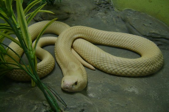 Snake Farm (Queen Saovabha Memorial Institute): Poisonous snake found in Thailand- don't worry he is in a glass cage!