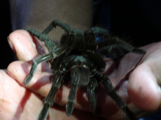 Sani Lodge:                                     Tarantula