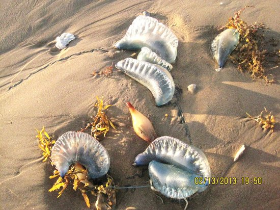 Jelly Fish Covering Beach at Isla Blanca Park