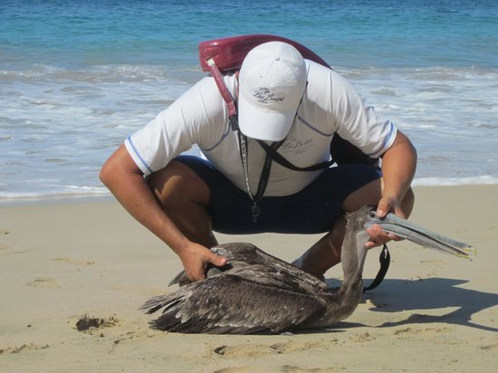 Las Brisas Ixtapa:                   Las Brisas Lifeguard helping an injured gull